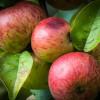 Ein erster Biss in die Apfelmusik
